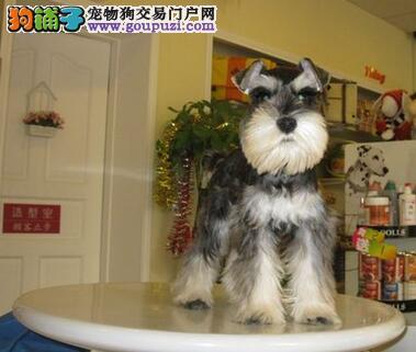 小老头雪纳瑞犬出售 质量三包 协议质保 免费饲养指导