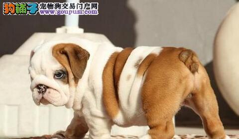 犬业高贵气质顶级英国斗牛宝宝接受新主人的预定