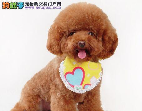 火爆出售血统纯正的郑州泰迪犬血统证书芯片齐全