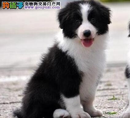 CKU 认证犬业出售健康 纯种边牧幼犬 多只可选