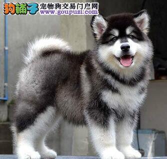 哈尔滨实体犬舍直销阿拉斯加雪橇犬 身体健康可签协议3