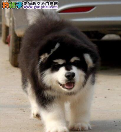 哈尔滨实体犬舍直销阿拉斯加雪橇犬 身体健康可签协议