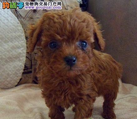 青岛犬舍出售精品纯种健康茶杯泰迪幼犬 上门可见父母1