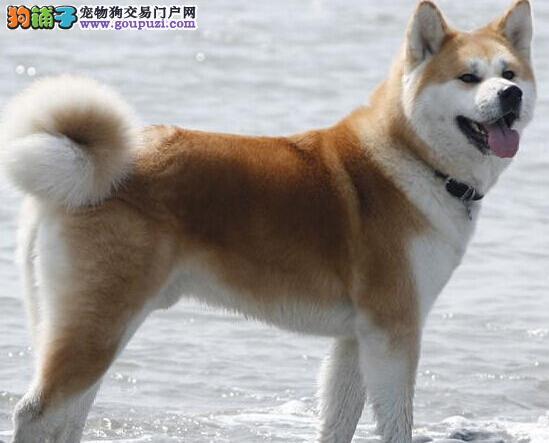 出售纯种血统的长、短毛秋田犬图片