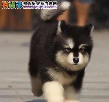 黑河精品阿拉斯加雪橇犬出售 超帅气拉风让你面子十足