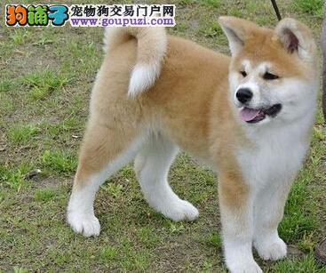 上海家养的秋田犬狗狗出售品相好家养活泼很忠诚的八公3