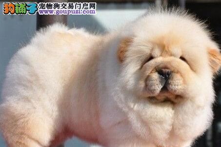 深圳出售精品肉嘴松狮 平嘴松狮多种颜色疫苗驱虫做完