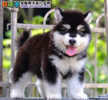 成都出售巨型够霸气巨型熊版阿拉斯加犬 在乎品质找我