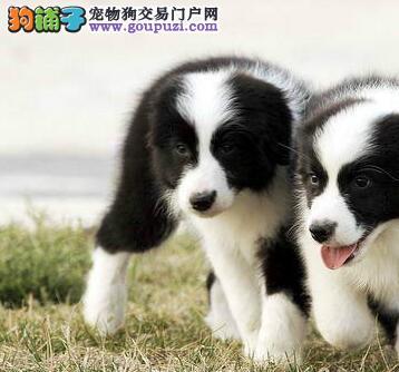 杭州这里有边境牧羊犬优惠