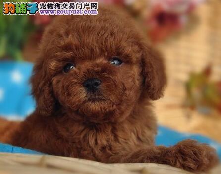 武汉本地犬舍出售精品泰迪犬 血统保纯身体保健康2