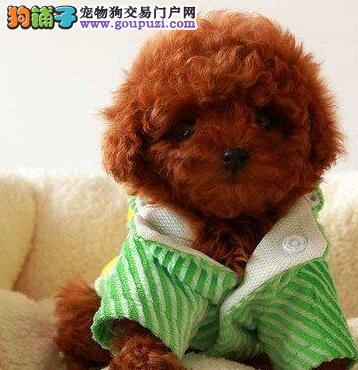 出售宁波贵宾犬 都是自家繁殖保证品质可随时电话联系