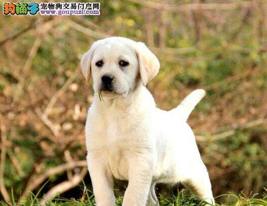 济南大型犬舍出售超高品质的拉布拉多犬 保健康签协议