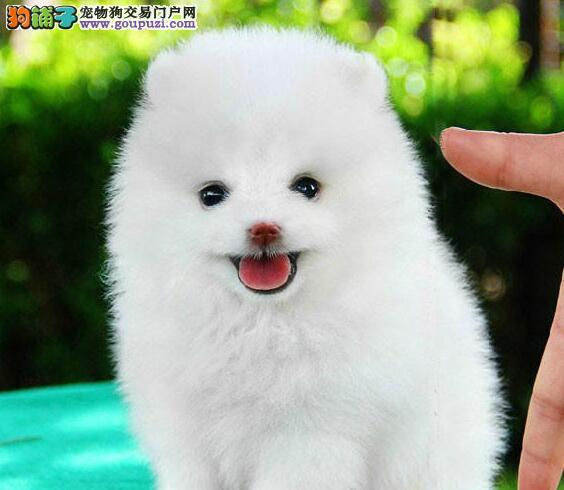 济南自家繁殖的博美犬 哈多利球形血系 请您放心选购