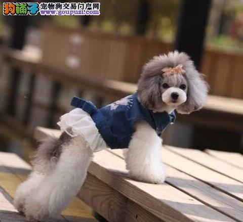 正规实体店热销贵宾犬太原周边地区可上门看狗