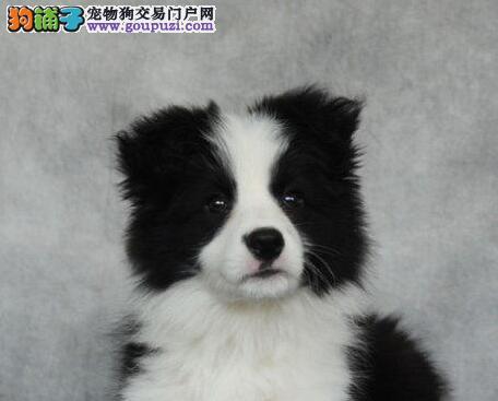 北京忠诚伴侣高智商边境牧羊犬七白到位 当场检验健康