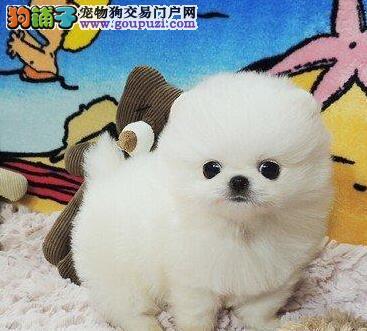 昭通出售博美犬幼犬 可微信视频 疫苗做齐保健康小博美