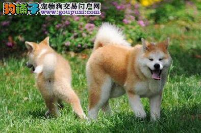 三个月的秋田犬一天吃几顿 每餐吃多少狗粮呢