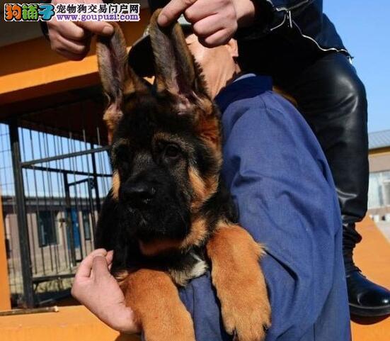 重庆售纯家养纯种骨架结实毛色黑亮的德国牧羊犬包健康