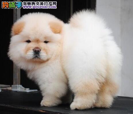 纯种健康松狮宝宝出售可上门看狗