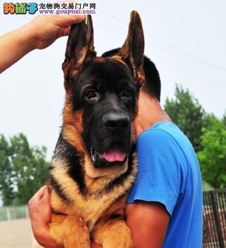出售德国牧羊犬 保证健康 公母都有 包售后 价格优惠
