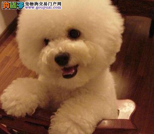 出售厦门比熊幼犬 不纯种可以十倍赔偿 签订协议
