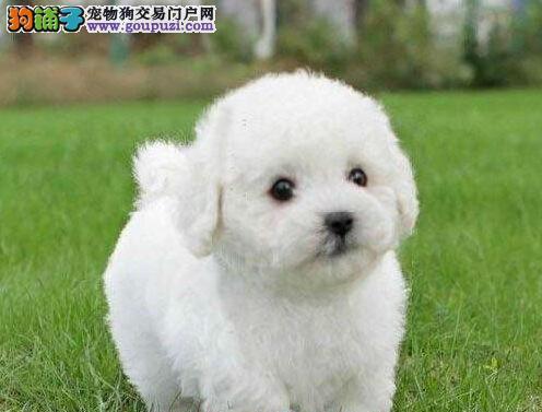出售厦门比熊幼犬 不纯种可以十倍赔偿 签订协议2