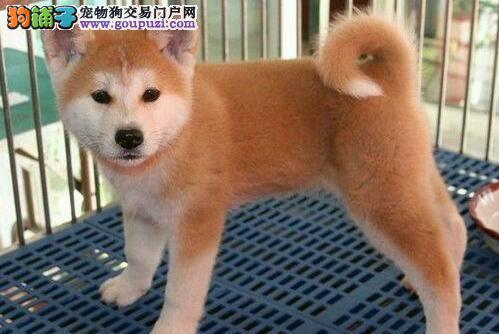 太原放心犬舍出售忠厚老实的秋田犬 赠送血统证书