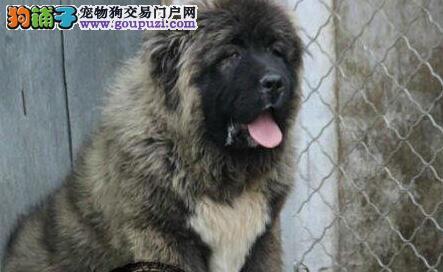 俄系高品质熊版高加索幼犬质保终身 签署协议免费送货