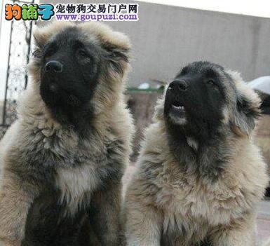 陵水县顶级品质高加索幼犬转让欢迎到场看高加索幼犬
