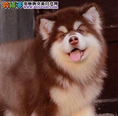 出售阿拉斯加/幼犬宝宝/纯种健康 质量保证