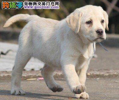 重庆繁育出售纯种黑色拉布拉多犬特价出售神犬小七