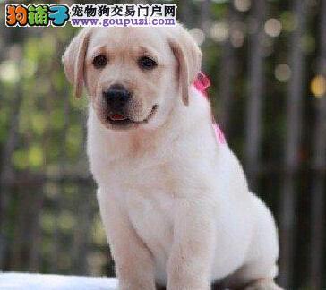 多只优秀南昌拉布拉多犬特价出售 已做好驱虫和疫苗