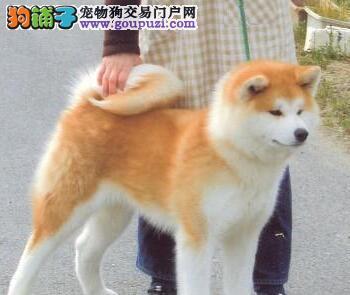 淮安出售纯种聪明伶俐的秋田犬 忠诚家庭犬健康有保障