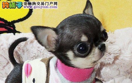 吉娃娃、纯种健康、苹果头、大耳朵、最小的体型
