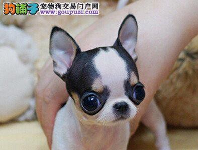 CKU犬舍认证出售高品质北京吉娃娃专业繁殖中心值得信赖