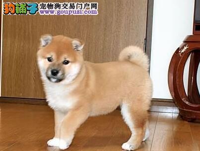 光鲜靓丽的毛发——秋田犬在食物中吃出来的