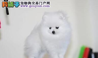 太原出售精品博美犬幼犬签订协议诚信第一保健康包活