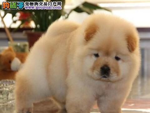 直销纯种大毛量紫舌松狮犬 品相好来哈尔滨可办理证书