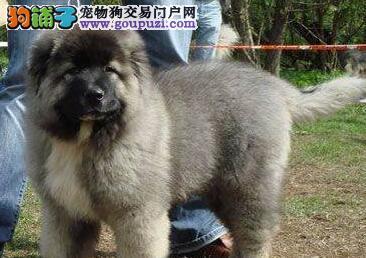 特价促销出售纯种大骨架合肥高加索犬 三个月大包健康