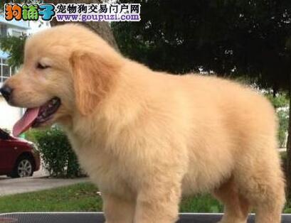顶级品质的金毛犬转让中 南昌周边建议上门挑选