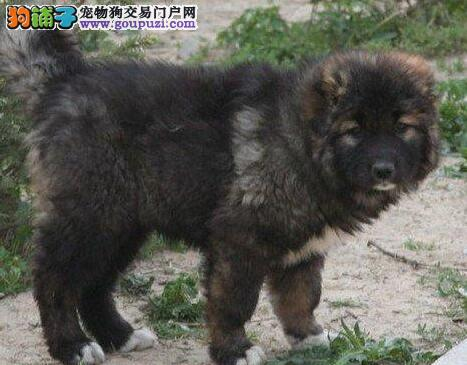 火爆出售熊版俄系南昌高加索犬 公母都有绝对健康