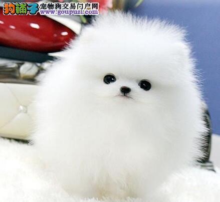 纯种哈多利版博美犬低价出售 南昌地区最低价品质最高4