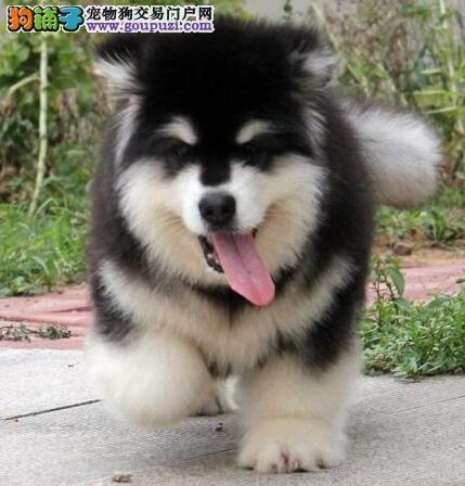 桃脸英俊帅气的青岛阿拉斯加犬找新家 签订质保协议书