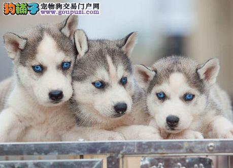 南京正规犬舍低价出售超高品质的哈士奇 多只幼犬供选3