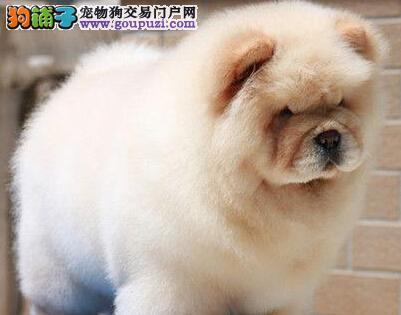 高品质松狮幼犬,高端大气精典品质,可送货上门