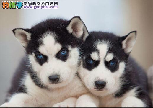 南京正规犬舍低价出售超高品质的哈士奇 多只幼犬供选2