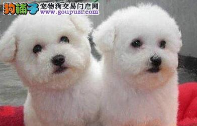 本溪家养大眼甜美脸萌纯种比熊犬幼犬售签订协议包健康