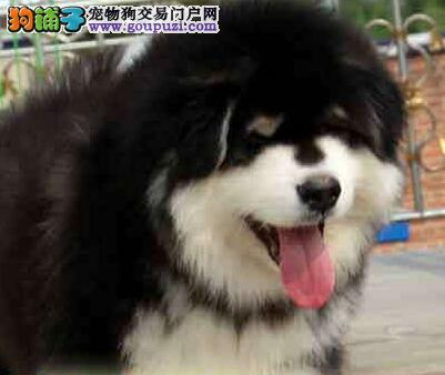 巨型熊版阿拉斯加犬出售 CKU犬舍出售 保健康纯种