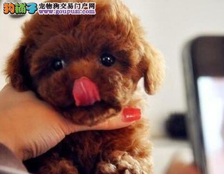 慎重出售纯种赛级茶杯泰迪犬红色泰迪幼犬玩具泰迪