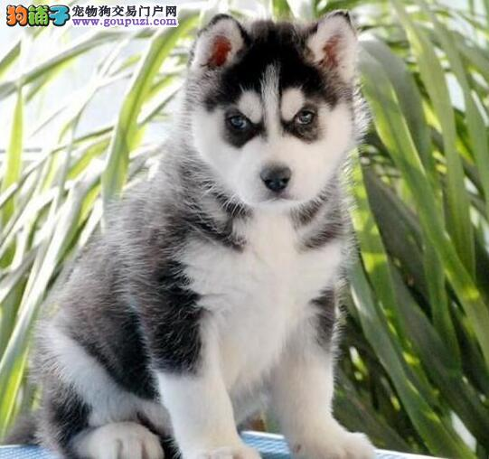 南京正规犬舍低价出售超高品质的哈士奇 多只幼犬供选4